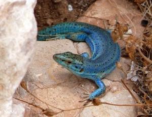 Lucertola di Formentera. Podarcis pityusensis, blau