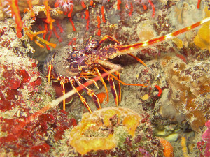 Aragosta e corallo rosso