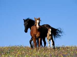 Cavalli selvaggi. Campagna