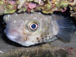 Pesce palla.1