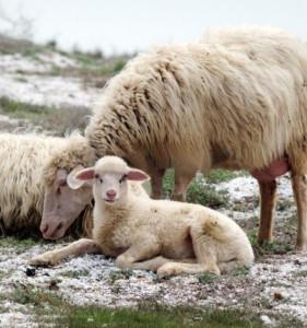 Gregge di pecore al mare. Sardegna