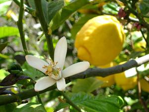 Limone e fiore