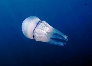 Medusa 'polmone di mare'. Rizosthoma_pulmo