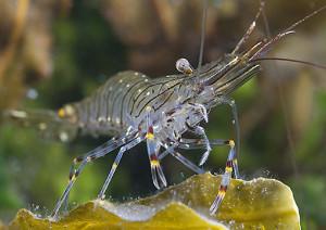 gamberetto esca (Palaemon serratus)
