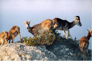 i mufloni di Zannone