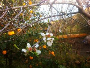 Agrumi e fiori di cotogno