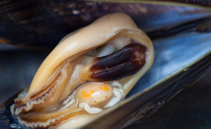 Pea Crab (Pinnotheres pisum) inside Mussel
