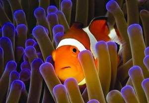 pesce pagliaccio e anemone