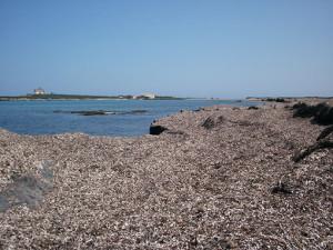 posidonia-spiaggiata