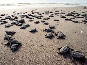 tartarughe verso il mare