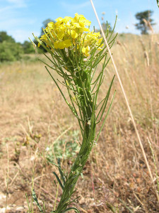 Fasciazione in Erisimum sp. Foto Gianluca Nicolella
