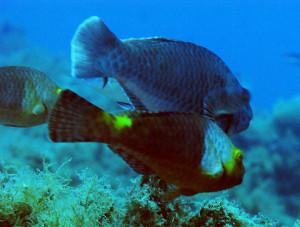 Scaro o pesce pappagallo