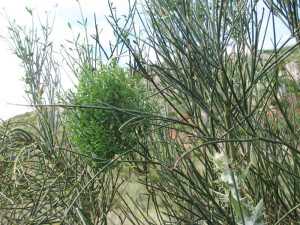 Sicilia Riserva dello Zingaro. Patol. Spartium junceum.1