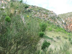 Sicilia Riserva dello Zingaro. Patol. Spartium junceum.2