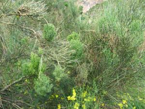 Sicilia Riserva dello Zingaro. Patol. Spartium junceum.3