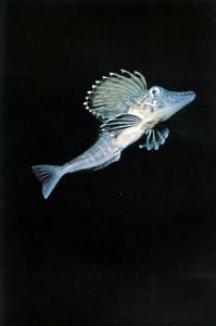 pagetopsis macropterus o pesce ghiaccio