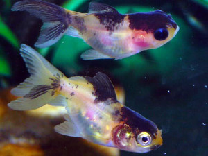 pesci malati di micosi