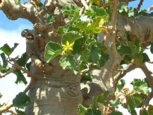 Cucumber tree. Fiore