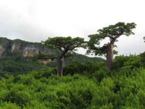 Due Baobab copia