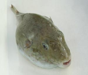 Sphoeroides pachygaster. Pesce palla liscio