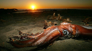 calamaro gigante 2