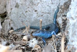 18. Bluelizard.2