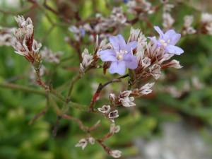 Limonium pontium Pignatti