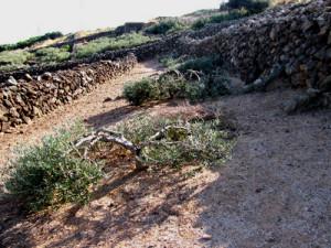 15. Olivi bassi