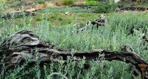 17. Vecchi olivi bassi