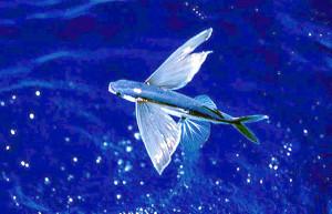 8. Pesce volante