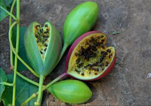 Capperi Le capsule con i semi