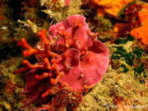 Myriapora truncata o falso corallo