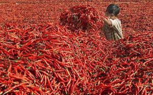 Peperoncino. India.1