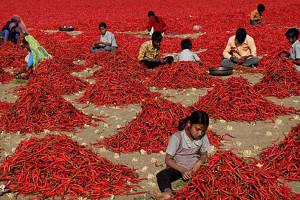 Peperoncino. India.2