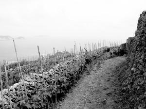 viti di biancolella nei terreni della guardia