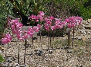 Amaryllis belladonna. Tnt