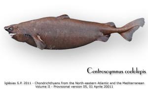 Centroscymnus ceololepis