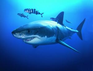 Grande squalo bianco con alcuni pesci pilota