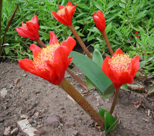 Haemanthus coccineus.4