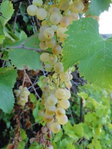 L'uva. Part.
