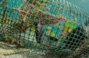 Una-nassa-abbandonata-ancora-pescante