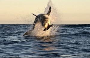 squalo all'attacco