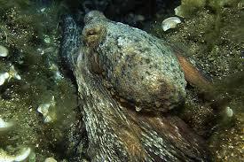Berlenga grande - polpo mimetizzato