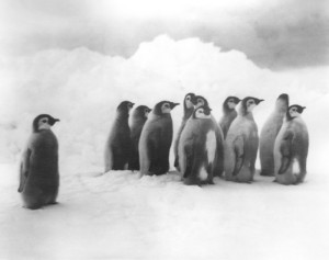 Frank Hurley. Pinguini