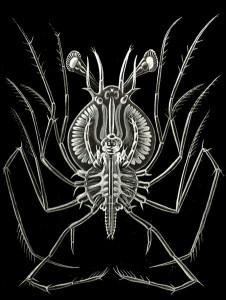 larva phillosoma