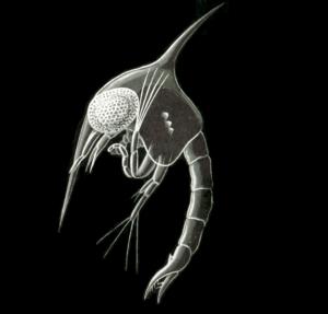 larva zoea