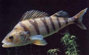 pesce persico - oviparo