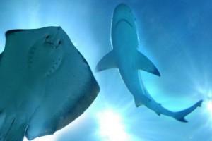 razza e squalo