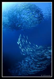 vortice di pesci