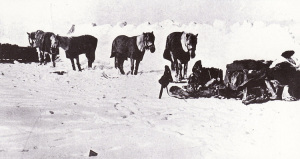 Siberian_ponies_-_Terra_Nova_Expedition